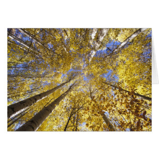 USA, Pacific Northwest. Aspen trees in autumn Card
