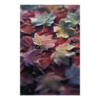 USA, Pacific Northwest. Japanese maple leaves Photo Print