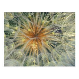 USA, Pennsylvania. Dandelion seedhead close-up Postcard