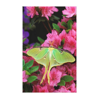 USA, Pennsylvania. Luna moth on pink clematis Gallery Wrapped Canvas