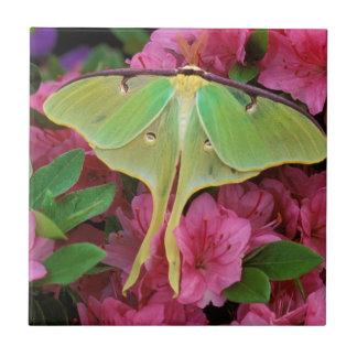USA, Pennsylvania. Luna moth on pink clematis Tiles