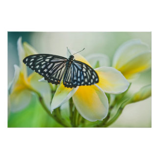 USA, Pennsylvania. Swallowtail butterfly Poster