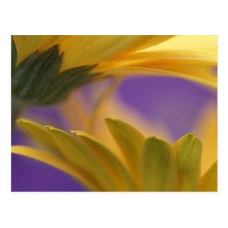 USA, Pennsylvania. Yellow Gerbera Daisies, close Postcard