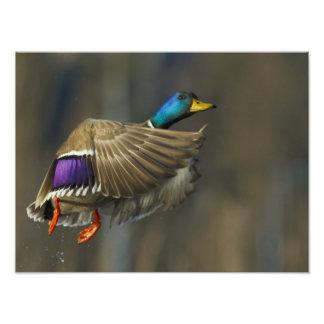 USA, Seattle, Washington. Male Mallard blasts Photo Print