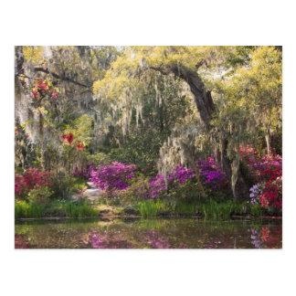 USA, South Carolina, Charleston. Cypress Trees 2 Postcard