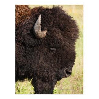 USA, South Dakota, American bison (Bison bison) 2 Postcard