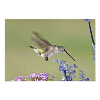 USA, Texas, Hill Country. Female black-chinned Photo Print