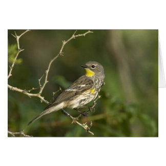 USA, Texas, Hill Country. Male yellow-rumped Card