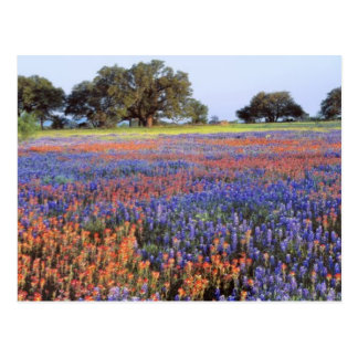 USA, Texas, Llano. Bluebonnets and redbonnets Postcard