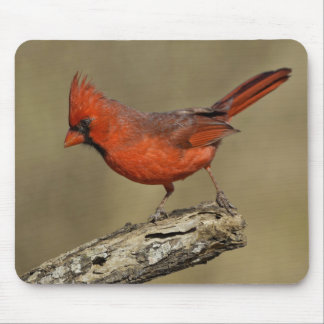 USA, Texas, Santa Clara Ranch. Northern Cardinal Mouse Pad