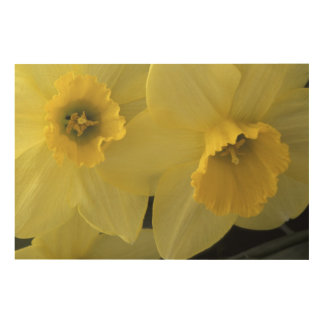 USA, Utah, Cache Valley Daffodils Wood Print
