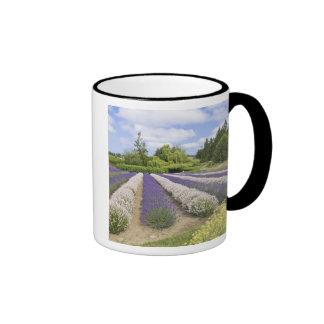 USA, WA, Sequim, Purple Haze Lavender Farm Ringer Coffee Mug
