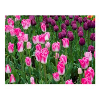 USA, Washington. Blooming Tulips Postcard