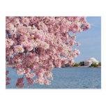 USA, Washington DC, Cherry tree Post Card
