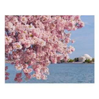 USA, Washington DC, Cherry tree Postcard