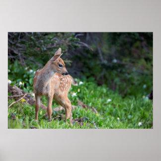 USA, Washington State. Blacktail Deer Fawn Print