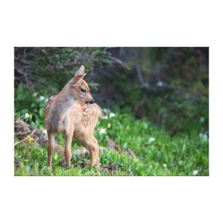USA, Washington State. Blacktail Deer Fawn Stretched Canvas Prints