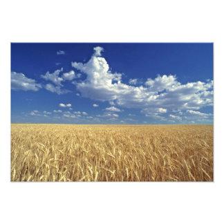 USA, Washington State, Colfax. Ripe wheat Photographic Print