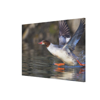 USA, Washington State,Common Stretched Canvas Print