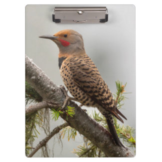 USA, Washington State. Male Northern Flicker 2 Clipboards