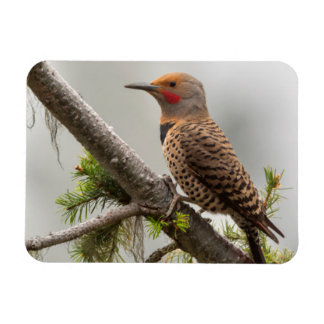 USA, Washington State. Male Northern Flicker 2 Magnet