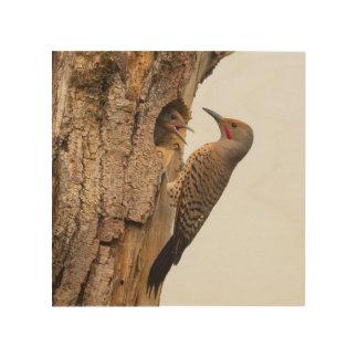 USA, Washington State. Male Northern Flicker Wood Canvas
