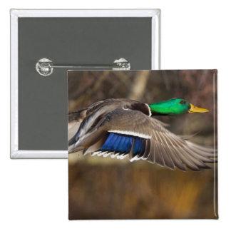 USA Washington State Mallard male flight Buttons