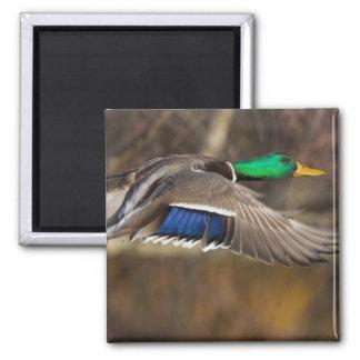 USA, Washington State, Mallard, male, flight. Magnets