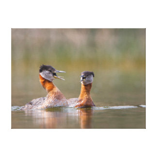 USA, Washington State. Mated Red-Necked Grebes Gallery Wrapped Canvas