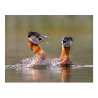USA, Washington State. Mated Red-Necked Grebes Postcard