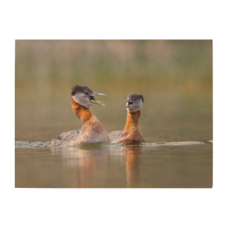USA, Washington State. Mated Red-Necked Grebes Wood Canvases