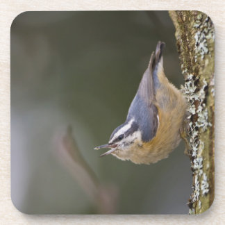 USA, Washington State, Red-brested Nuthatch, Coasters
