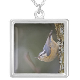 USA, Washington State, Red-brested Nuthatch, Pendants