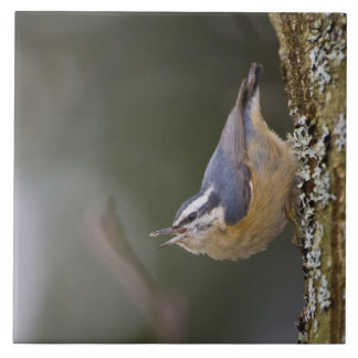 USA, Washington State, Red-brested Nuthatch, Tile