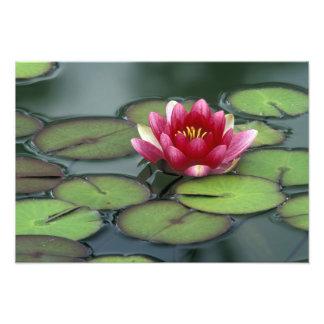 USA, Washington State, Seattle. Water lily and Photograph