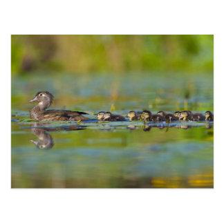 USA, Washington State, Wood Duck,female, Postcard