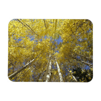 USA, Washington, Stevens Pass Fall-colored aspen Rectangular Photo Magnet