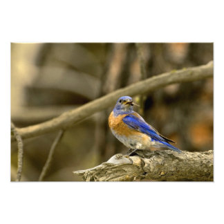 USA, Washington, Yakima. Male western bluebird Photo