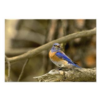 USA, Washington, Yakima. Male western bluebird Photographic Print