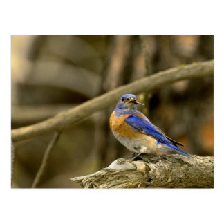 USA, Washington, Yakima. Male western bluebird Postcard