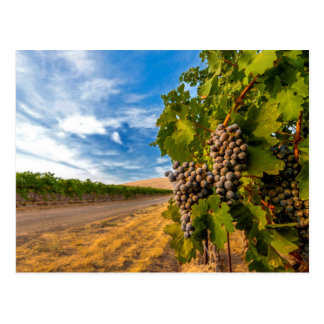 USA, Washington, Yakima Valley. Merlot Grapes Postcard