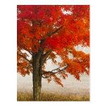 USA, West Virginia, Davis. Red maple in autumn Postcard