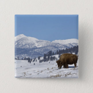 USA, WY, Yellowstone NP, American Bison Bison 2 Inch Square Button