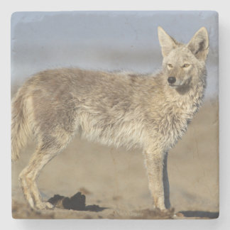 USA, Wyoming, Coyote standing on beach Stone Coaster