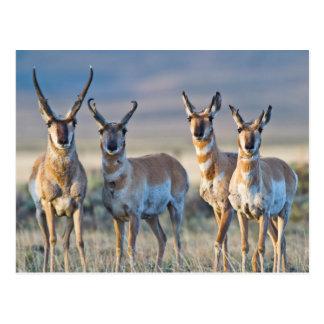 USA, Wyoming, Four Pronghorn antelope bucks Postcard