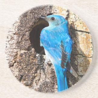 USA, Wyoming, Male Mountain Bluebird Beverage Coaster