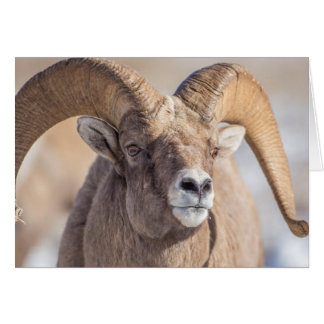 USA, Wyoming, National Elk Refuge, Bighorn Sheep Card