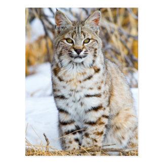 USA, Wyoming, Portrait of Bobcat sitting Postcard