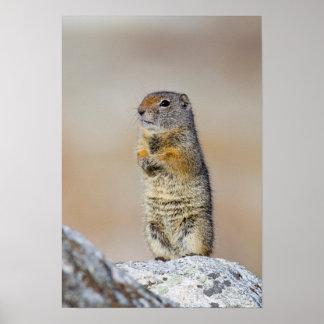 USA, Wyoming, Uintah Ground Squirrel standing Poster