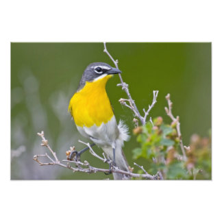 USA, Wyoming, Yellow-breasted Chat Icteria 2 Art Photo